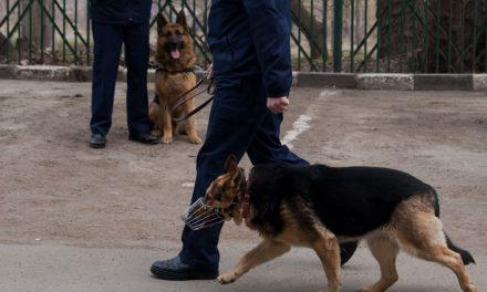 Câinii poliţişti tulceni, la datorie