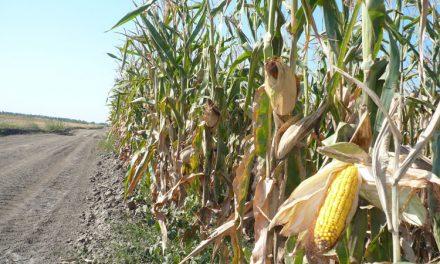 Fermieri din Tulcea spun că cerealele modificate genetic n-ar face rău nimănui