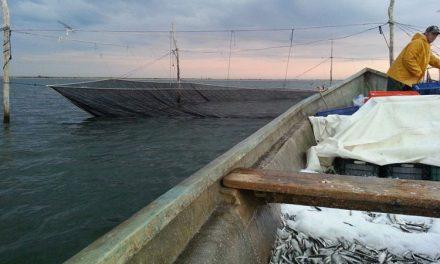 Taliene suedeze testate în bălţile din deltă