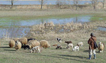 Tulcenii îşi cumpără mielul de Paşte direct de la ciobani