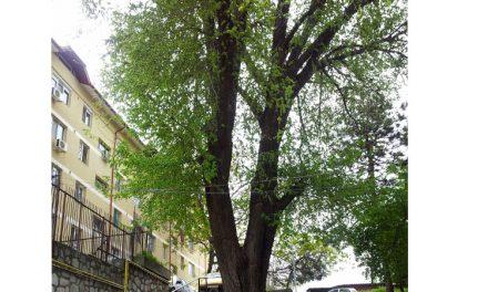 Ulmul secular de lângă Garofiţa a fost declarat monument al naturii