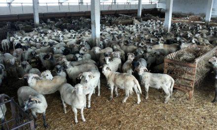 Liber la exportul de ovine în Turcia