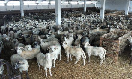 Boala limbii albastre sugrumă afacerile cu oi: mioarele de la malul Dunării nu mai sunt dorite de arabi