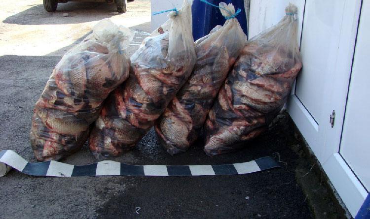 Mai multe transporturi ilegale de peşte, depistate pe raza judeţului Tulcea