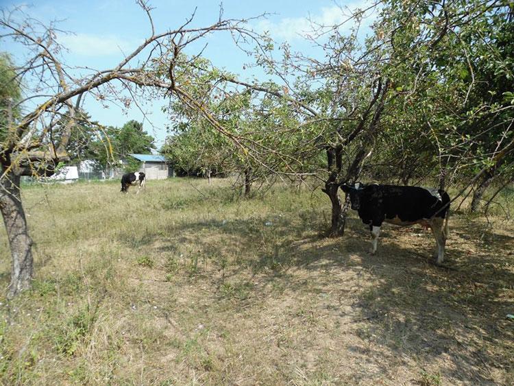 Tulcea: pretenţiile de oraş turistic, călcate în copite de oi şi vaci