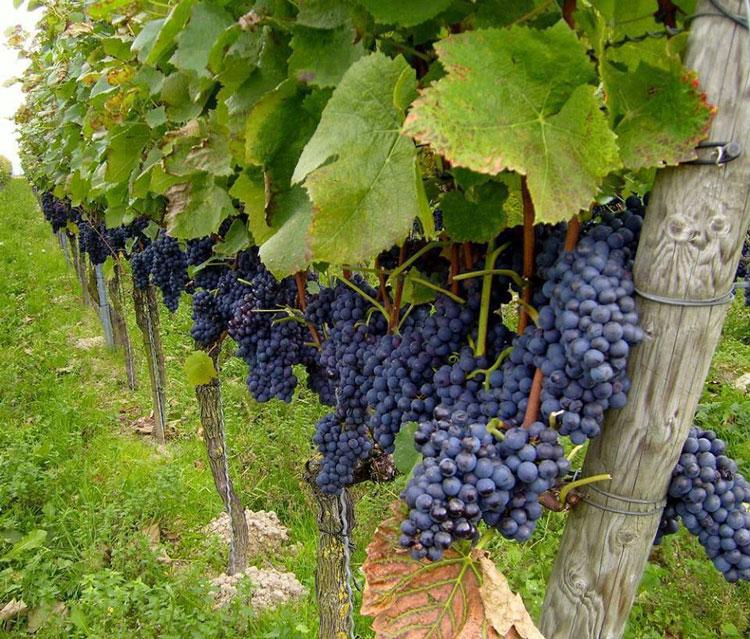 E forfotă mare în podgorii: anul acesta vom avea vin de super calitate!