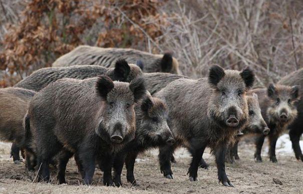 Pentru moment, industria cărnii scapă de emoţii: nu avem pestă porcină africană la Tulcea