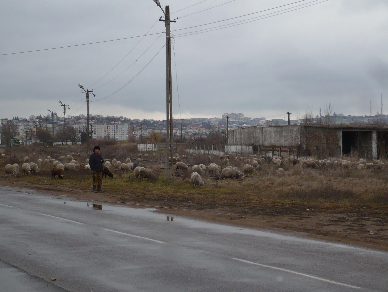 Cu oile la păscut printre blocurile din municipiu