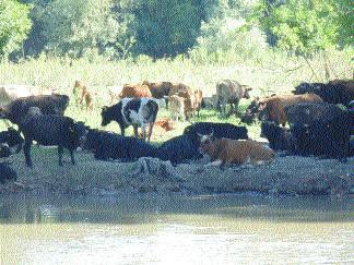 În lipsa abatoarelor, localnicii din Rezervaţie îşi dau vitele la câini