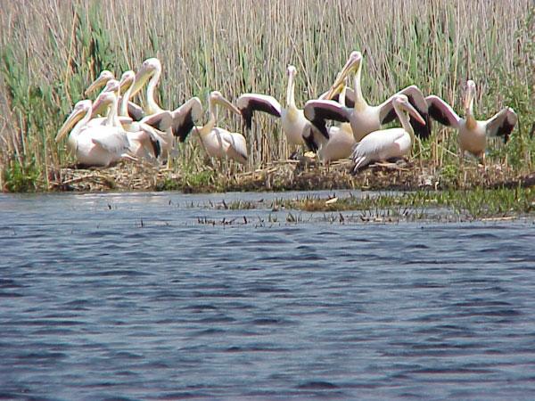 Rezultatele recensământului Societăţii Ornitologice Române: peste 20.000 de pelicani, pe teritoriul ţării noastre