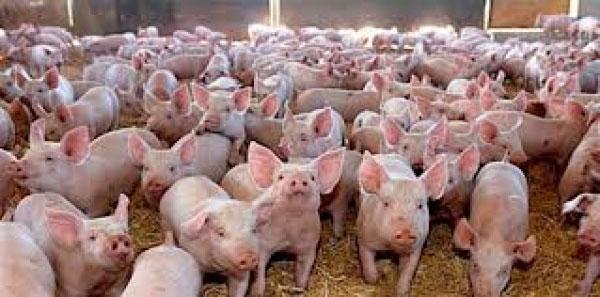 Sub ameninţarea pestei porcine africane
