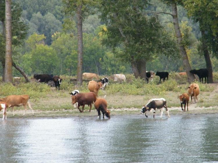 Crescătorii de animale din Maliuc ameninţă că vor veni cu vitele pe faleza din Tulcea
