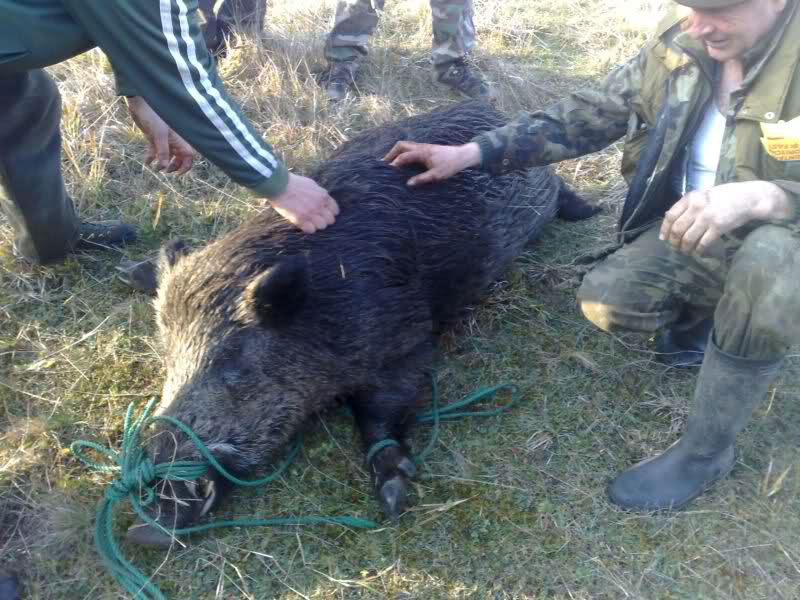 Vânătoare de extracţie în Rezervaţie: probele prelevate de la 10 mistreţi, negative