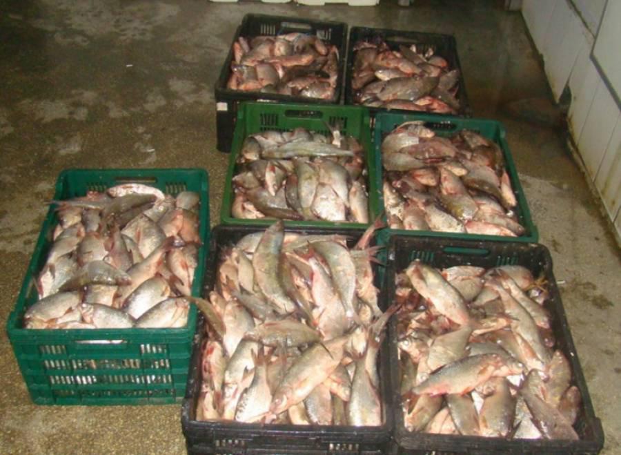 Depistat de poliţişti cu 28 de persoane care desfăşurau activităţi de prelucrare a peştelui fără documente legale de angajare