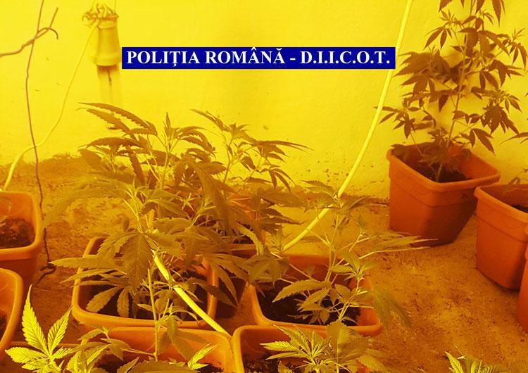 Un englez şi un român sunt acuzaţi că au înfiinţat o cultură de cannabis la Dăeni