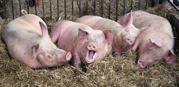 În lipsa târgurilor, ţăranii îşi vând porcii pe internet