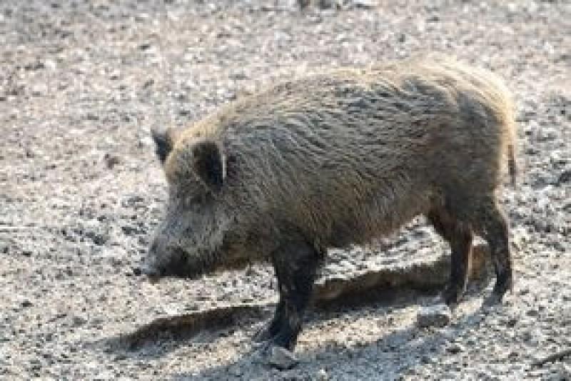 Mistreţ cu trichineloză, împuşcat la vânătoare la Ciucurova