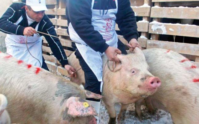 Suspiciuni de pestă porcină africană la Somova