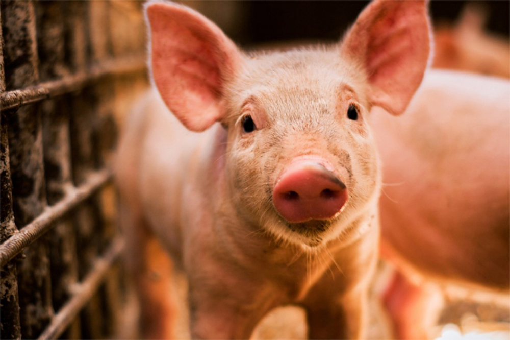 Pesta porcină atacă din nou: după Carniprod, ciuma porcilor loveşte Pigcom