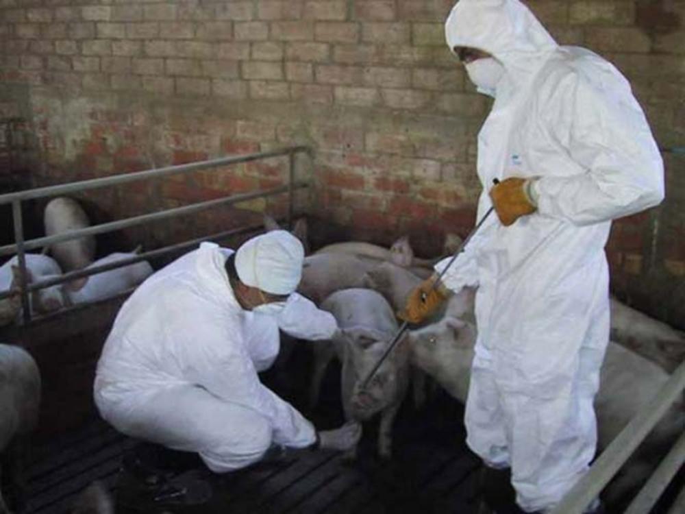 Şase suspiciuni noi de pestă porcină africană la Peceneaga