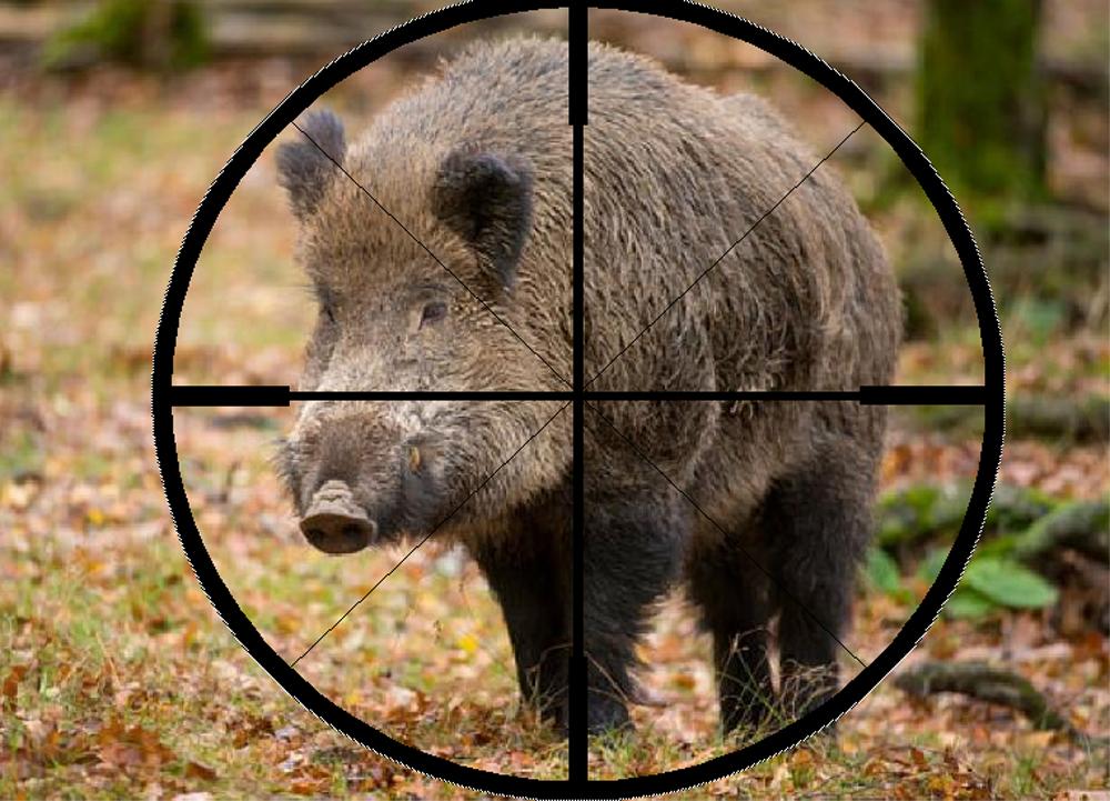 Pentru a limita propagarea pestei porcine, Guvernul dă drumul la vânătoare în Delta Dunării