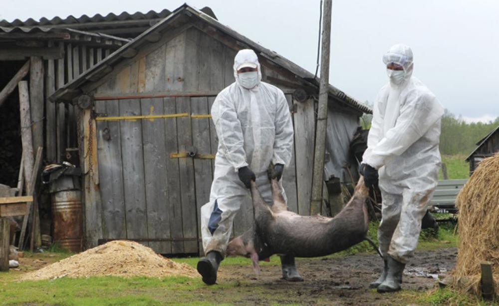 Pesta porcină – Despăgubiri de peste un milion de lei plătite la nivelul judeţului, niciun ban la Carniprod
