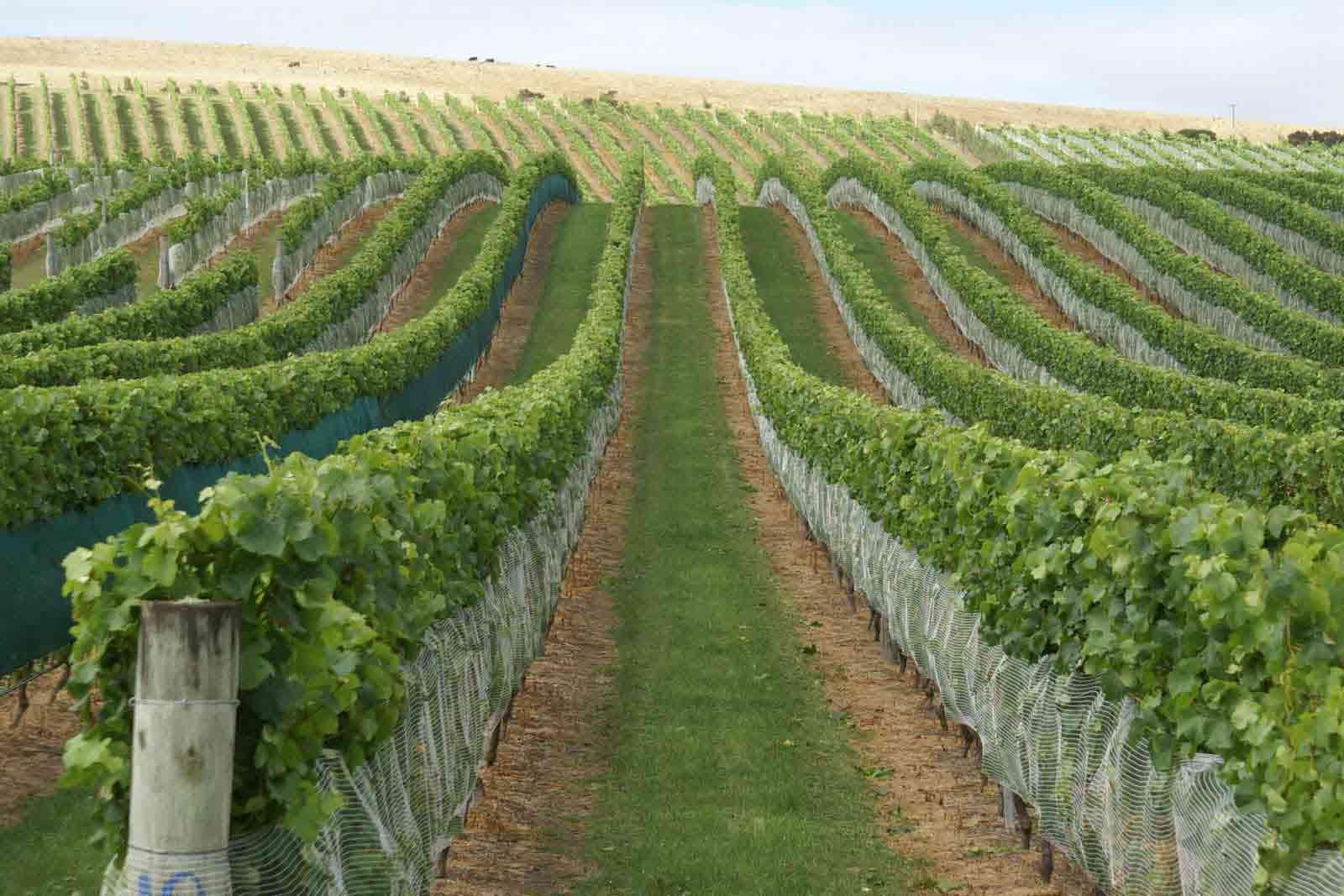 Producţia de vin din Niculiţel, afectată de ploile din acest an