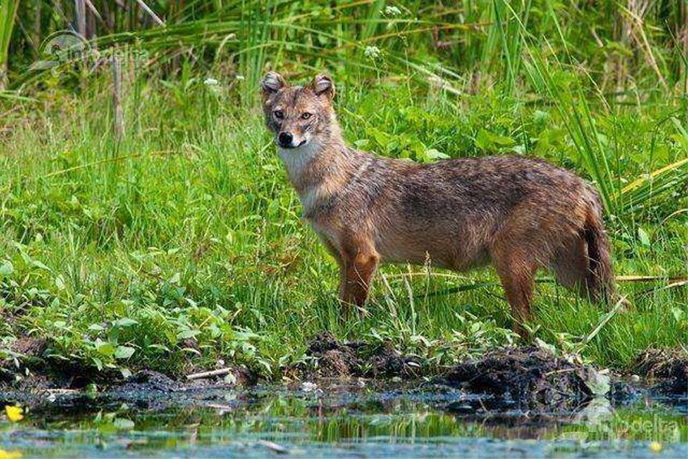 Vânătoarea mistreţilor şi a şacalilor din Delta Dunării începe săptămâna viitoare