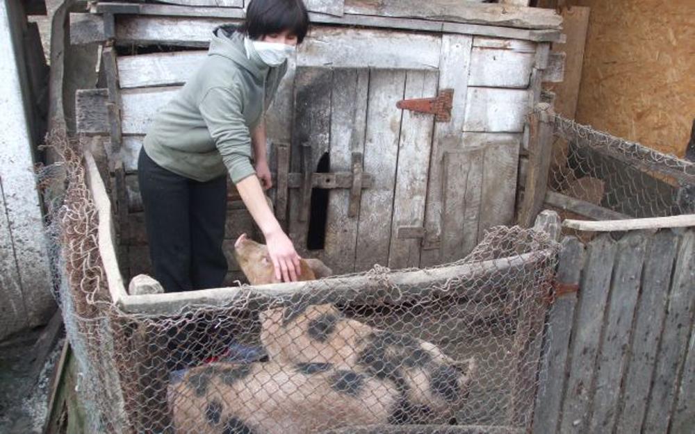 Tulceni prinşi cu porcul de medicii veterinari, deşi, pe hârtie, toate animalele au fost ucise