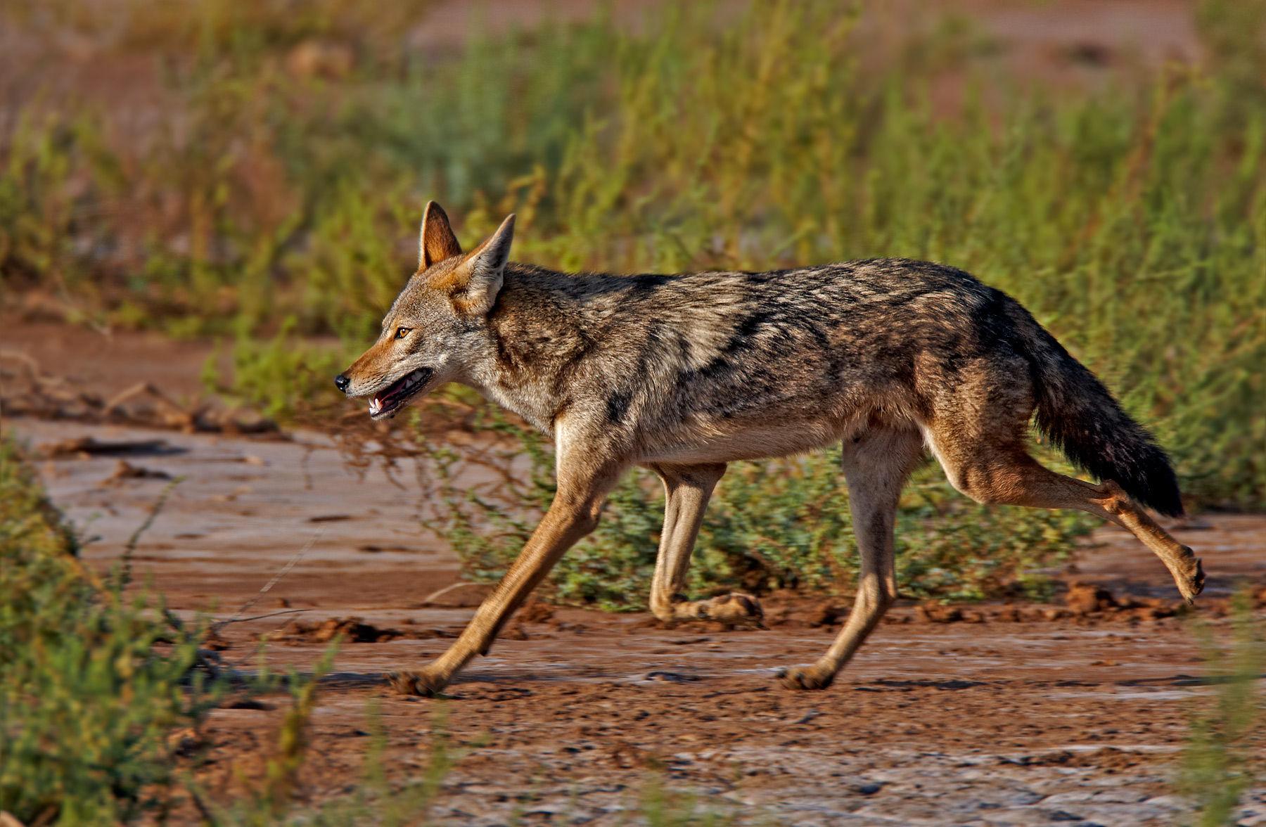 Rezultatele primelor acţiuni de vânătoare în deltă: doar trei şacali împuşcaţi