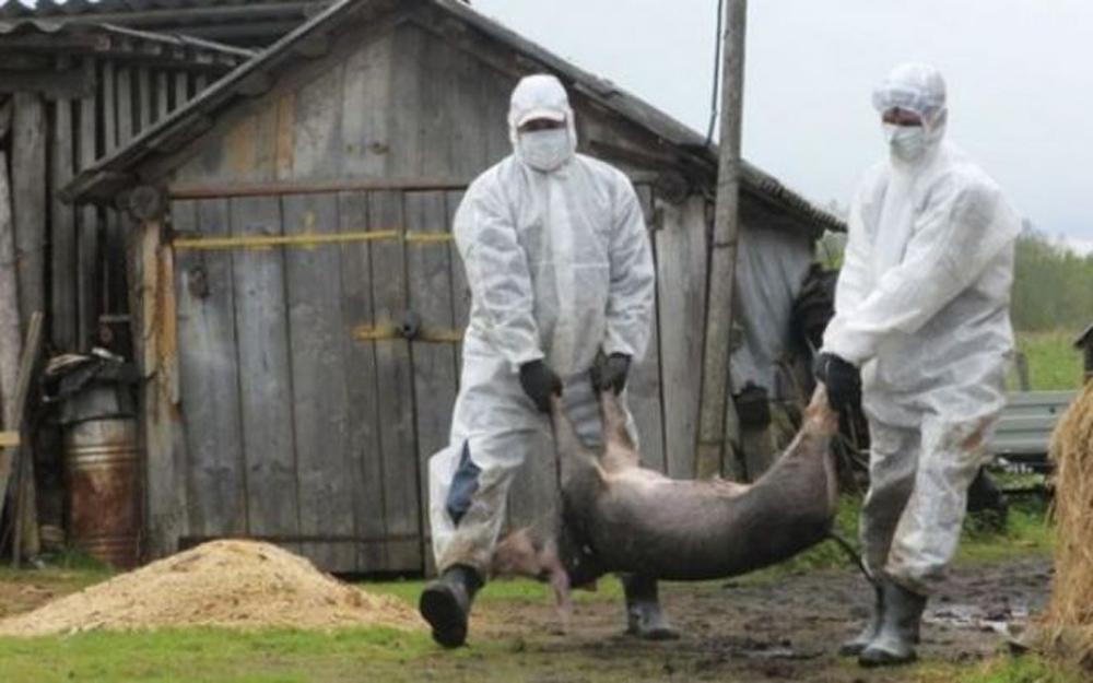 Oamenii din Ceatalchioi, supăraţi că nu au primit bani pentru toţi porcii sacrificaţi