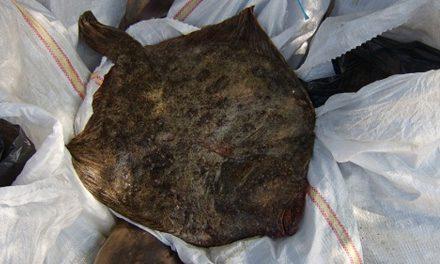 Dosar penal pentru pescuit ilegal de calcan şi rechin, la Sulina