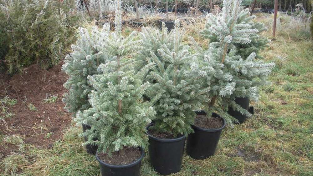 Direcţia Silvică Tulcea vinde 800 de pomi de Crăciun