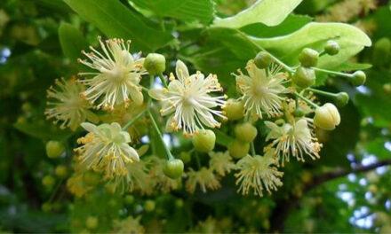 Direcţia Silvică Tulcea a recoltat peste 20 tone de flori de tei