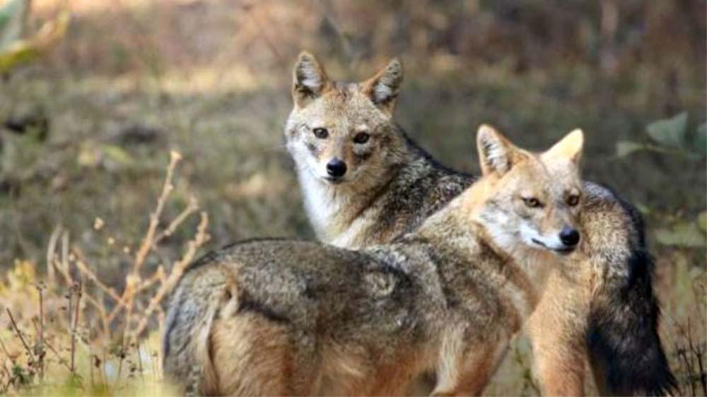 Haite de şacali atacă gospodăriile din Delta Dunării